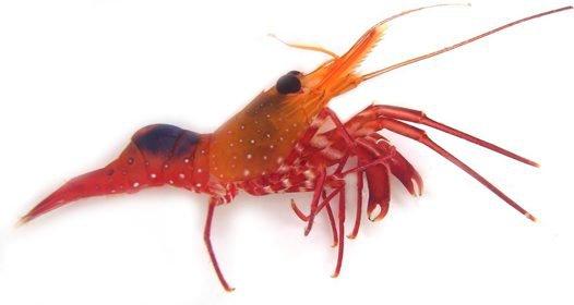 A new shrimp Rhynchocinetes okuno Ahyong, 2015.
