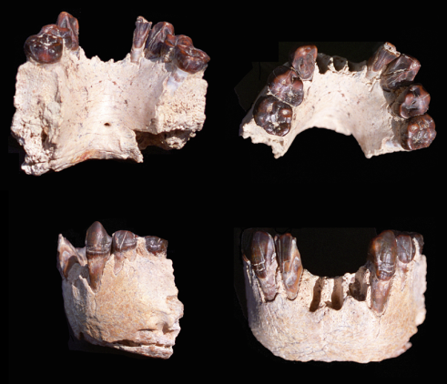 Views of <i>Australopithecus bahreghazali</i> holotype mandible (KT-12/H1)