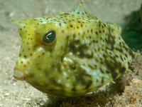 Roundbelly Cowfish