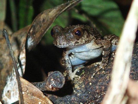 Stone Leaf-litter Frog