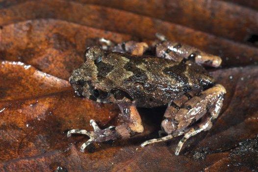 Pu Hoat Leaf-litter Frog