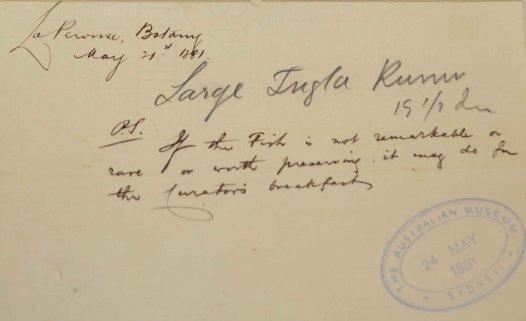 1881 accession letter Chelidonichthys kumu