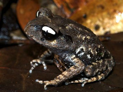 Yin yang frog, Leptobrachium leucops