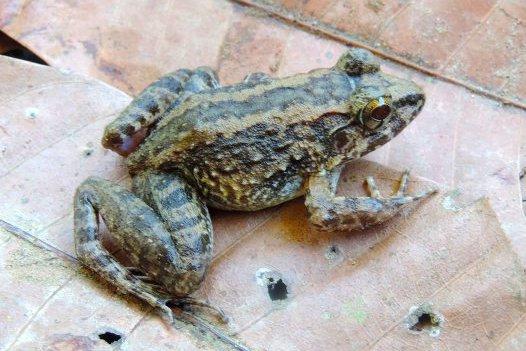 Limnonectes larvaepartus,