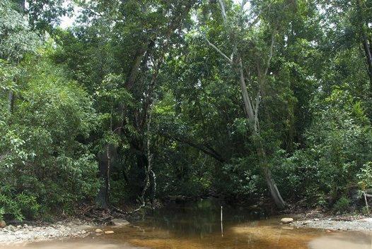 Habitat of the Cape York Graceful Treefrog (Litoria bella)