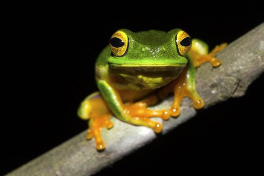 Cape York Graceful Treefrog (Litoria bella)