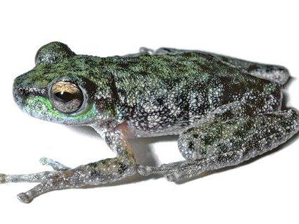 Peppered Tree Frog (Litoria piperata)