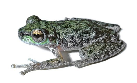 Peppered Tree Frog (Litoria piperata)