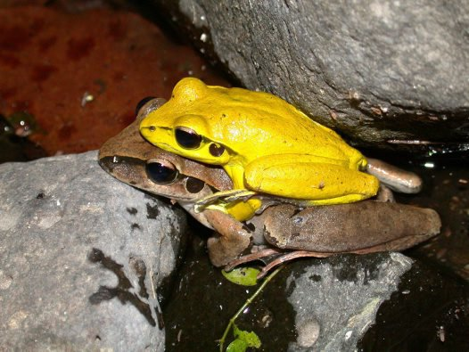Male and female Stony Creek Frogs