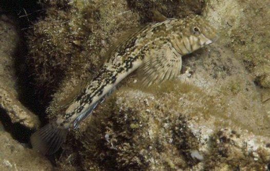 Western Jumping Blenny, Lepidoblennius marmoratus