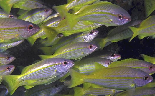 Close-up of a school of Bigeye Snapper