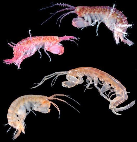 Maeridae Amphipod Crustaceans