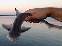 Juvenile Gummy Shark