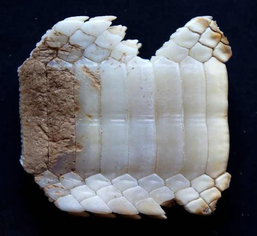 Tooth plate from a Southern Eagle Ray, Myliobatis australis