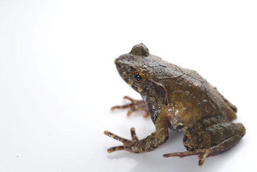 Red-thighed Horned Frog (Megophrys rubrimera)