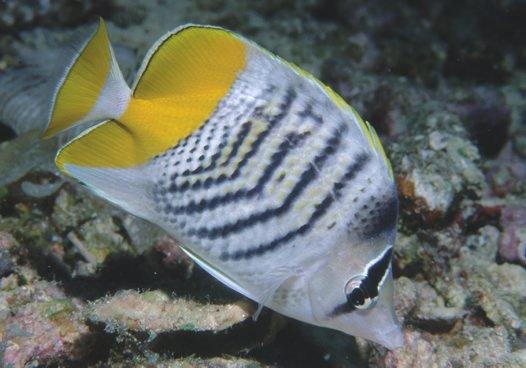 Merten's Butterflyfish