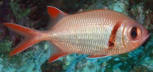 Epaulette Soldierfish