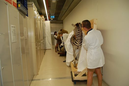 April movement in the Museum - zebra