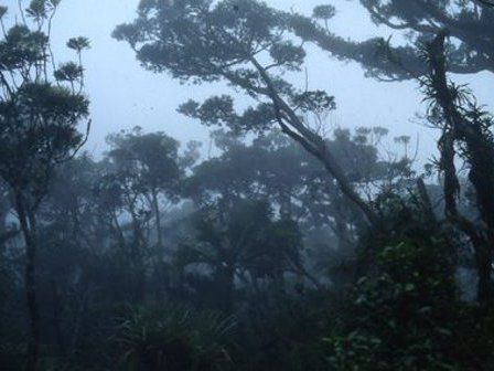 Agathis montana forest at 1320 m elevation, Mt Panié, New Caledonia.