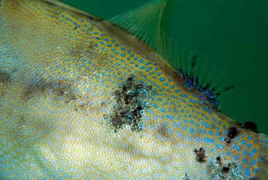 Fungal infection on the body and dorsal fin of a Rough Leatherjacket.
