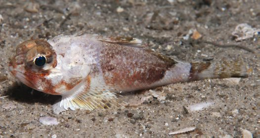 Whitley's Gurnard Perch, Maxillicosta whitleyi