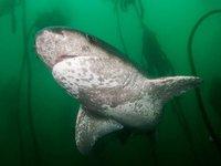 Broadnose Shark, Notorynchus cepedianus