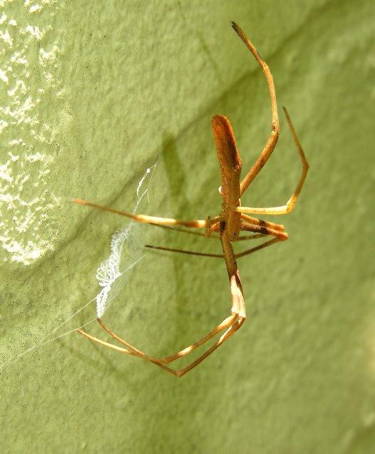 Female Net-casting Spider