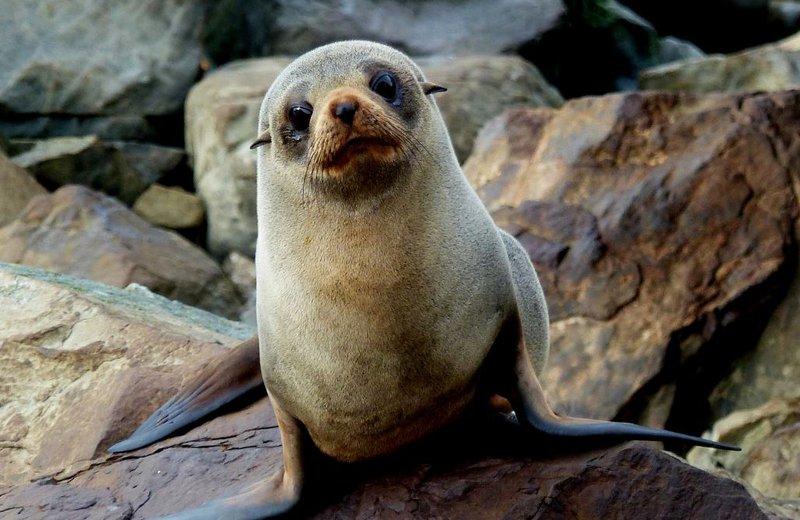 new zealand fur seals