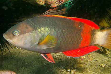 Crimsonband Wrasse, Notolabrus gymnogenis