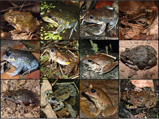 Frog species native to NSW that are often confused with toads