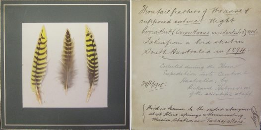 Mounted Night Parrot feathers and S.W. Jackson's label on the back of the plaque.