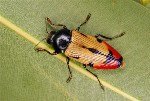 Jewel Beetle, Temognatha maculiventris (male)