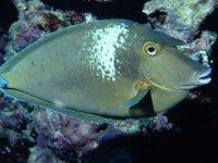 Bluespine Unicornfish, Naso unicornis