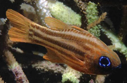 Blue-eye Cardinalfish, Ostorhinchus compressus