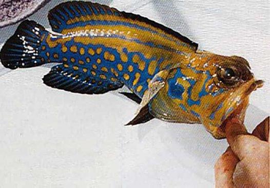 Harlequin Smiler, Opistognathus eximius