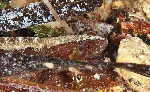Variable Snake Blenny, Ophiclinus ningulus