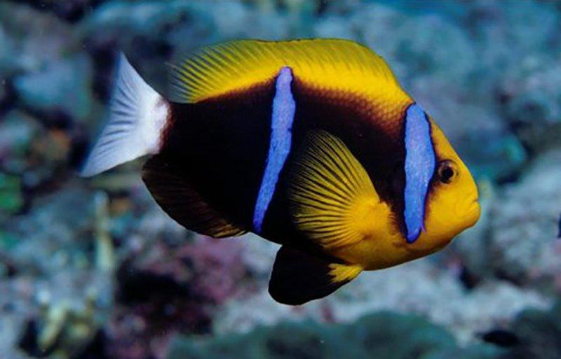 Orange-fin Anemonefish