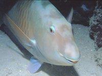 Pacific Longnose Parrotfish, <i>Hipposcarus longiceps</i>