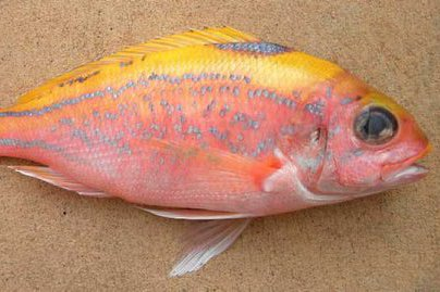 Ornate Snapper, <i>Pristipomoides argyrogrammicus</i>