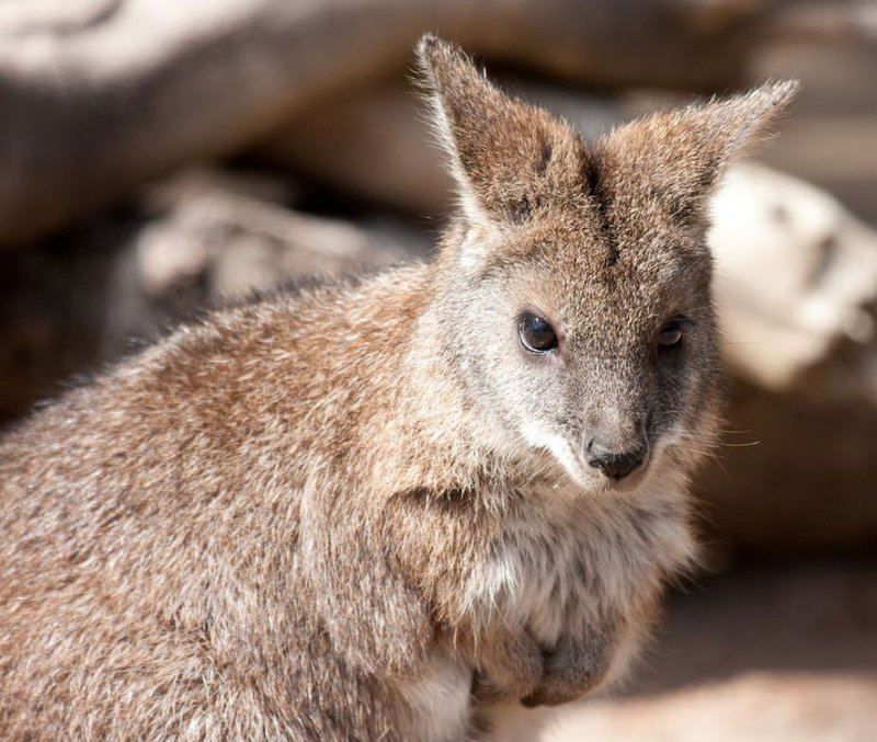 parma wallaby2