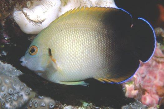 Pearlscale Angelfish, <i.>Centropyge vrolikii</i>