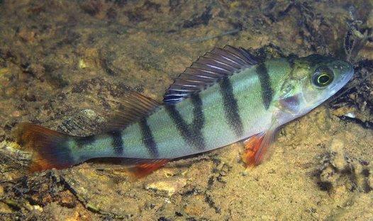 Redfin, <i>Perca fluviatilis</i>