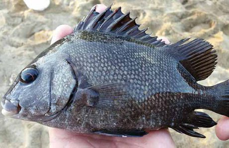 Brown Sweetlips, Plectorhinchus gibbosus
