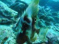Short Boarfish, <i>Parazanclistius hutchinsi</i>