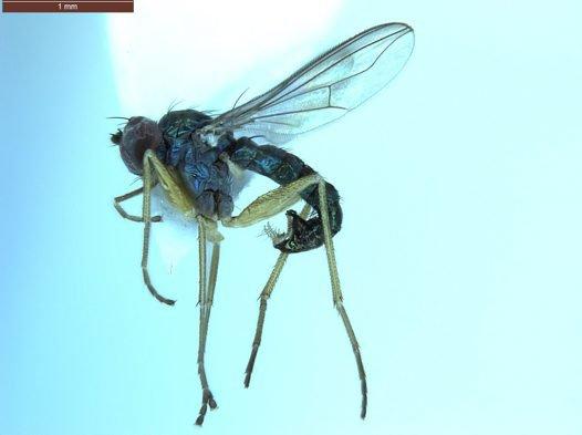 Male Pilbara octava