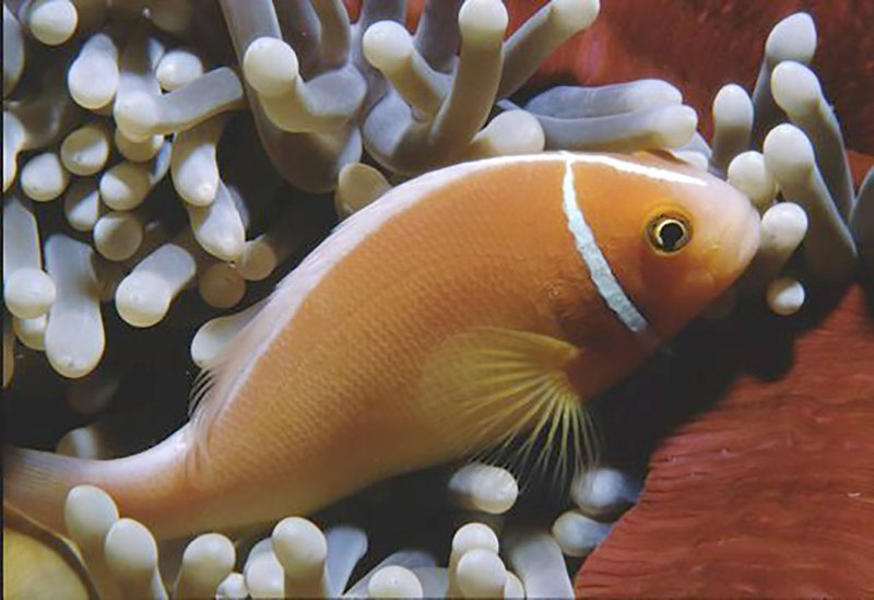 Pink Anemonefish,<i> Amphiprion perideraion</i>