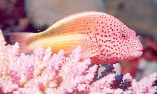 Freckled Hawkfish, Paracirrhites forsteri