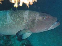 Bluespotted Coral Trout, Plectropomus laevis
