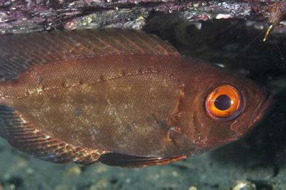 Spotted Bigeye, Priacanthus macracanthus