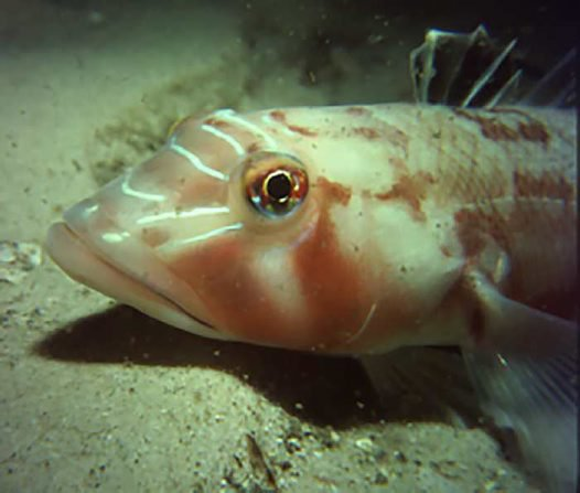 Pinkbanded Grubfish, Parapercis nebulosa